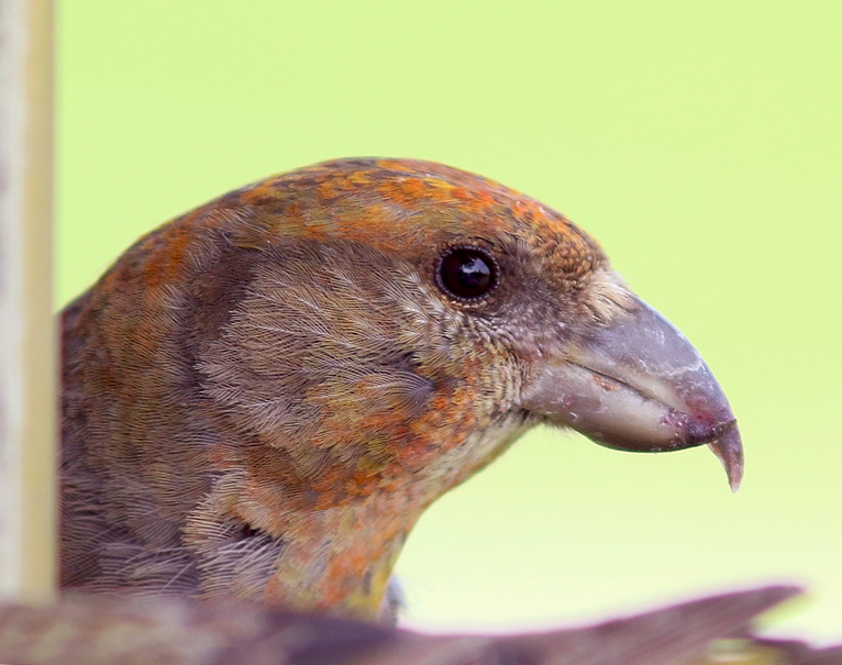 "The Newfoundland race of Red Crossbill (percna) is considered enedmic to the island, and is currently considered a ""species at risk"" in the province."
