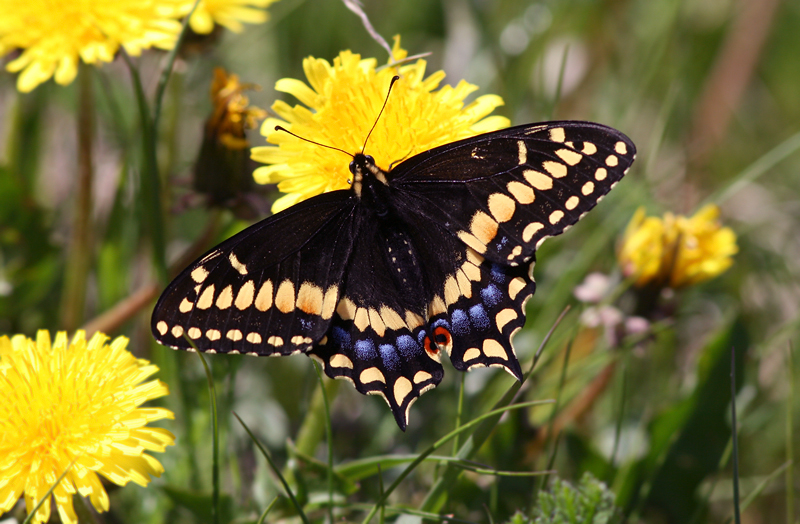 Butterflies make a wonderful addition to a day on the headlands - especially the beautiful Short-tailed Swallowtail. These critters have a very restricted range, making Newfoundland the best place in the world to find them.