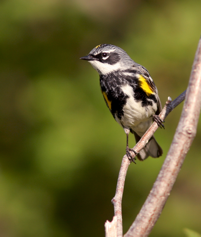 A male Yellow-rumped Warbler checks out his territory.
