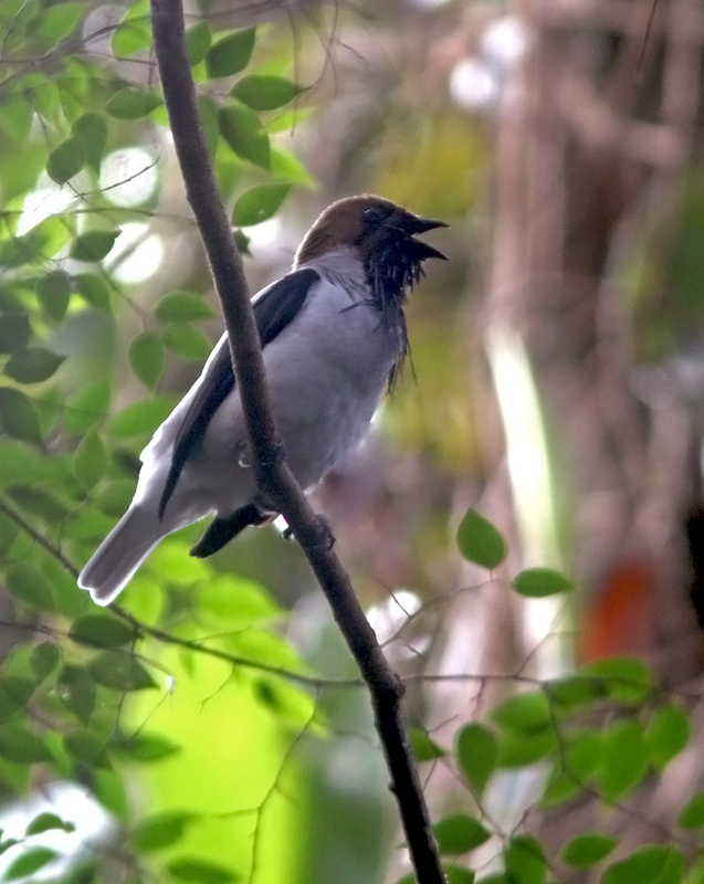 "One of the most awe-inspiring birds found in the Northern Range is the Bearded Bellbird. Even more amazing than its wattled ""beard"" is its incredible call - something that has to be heard ot be believed. (Apologies for the poor photo - they are well concealed in the forest canopy and we were fortunate to have such great looks at this one!)"