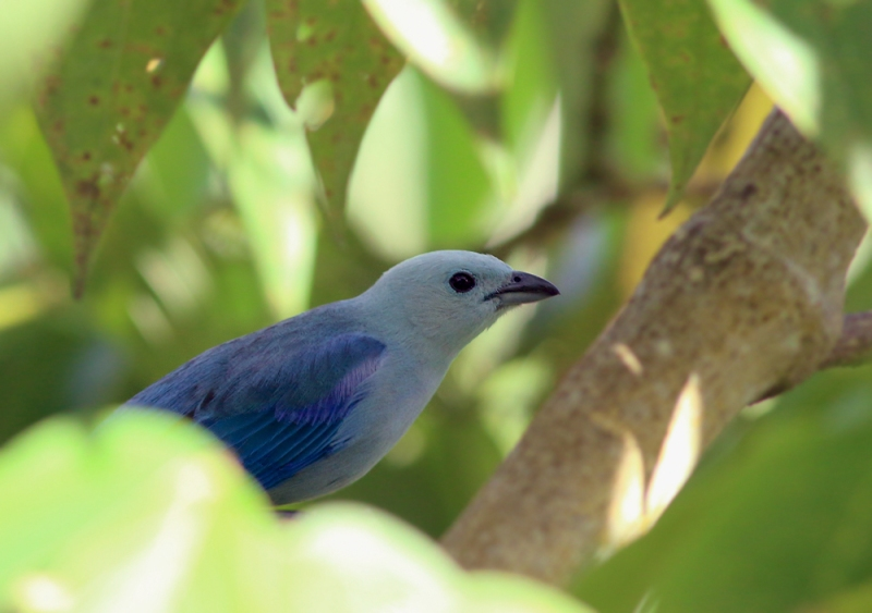 Equally colourful, though of a very different hue, is the Blue-gray Tanager. These beautiful birds were regular visitors to the veranda feeders, yet I somehow came away with out a single unobscured photo!