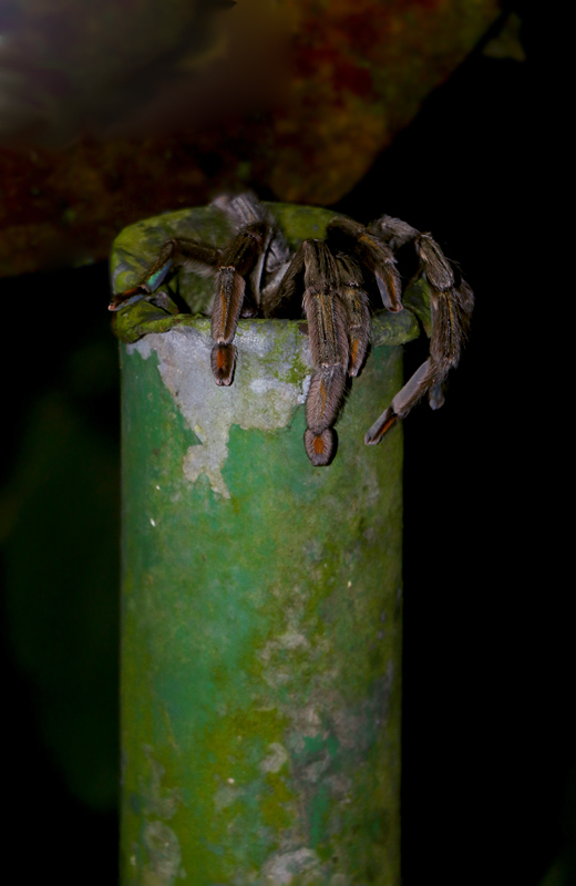 Smaller, but still a little menacing, was the Trinidad Chevron Tarantula. We spotted several of these, including this large female during a night stroll. Another (apparently a male) was making itself at home in the main house of the Asa Wright lodge. I hardly ever sat down without checking for it first!