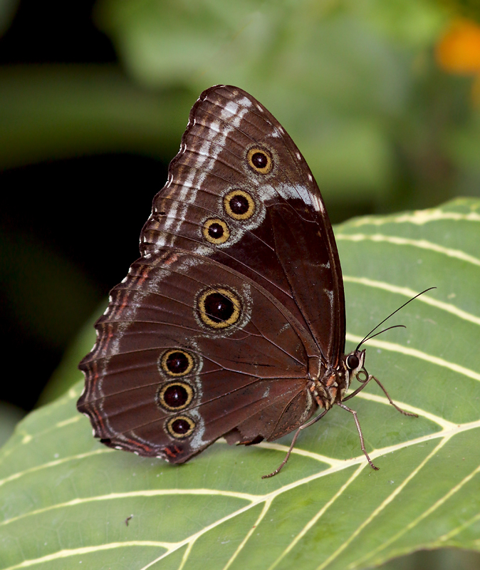"And it's not just birds. Trinidad has an incredible diversity of butterflies, including the large and beautiful Blue Morpho (known locally as the ""Emperor"")."
