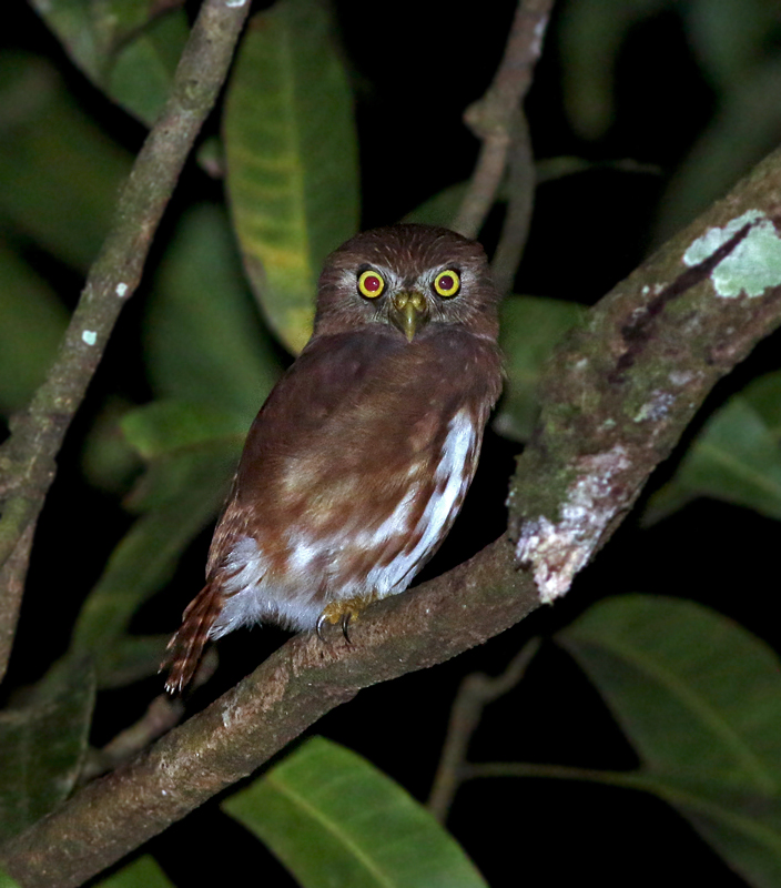As you can tell by now, night time can be just as exciting as daytime when looking for life in the tropics. We saw or heard five species of owl in Trinidad, including this cooperative Ferruginous Pygmy Owl.