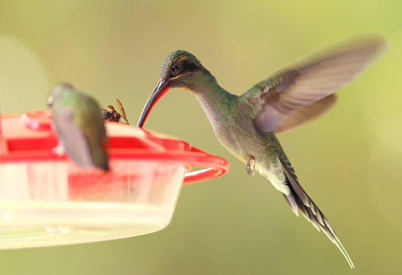 Less common at feeders but fun to watch were the hermits, like this Green Hermit. Despite being larger than the other hummers, they were often bullied away from the food and fed with interesting strategies.