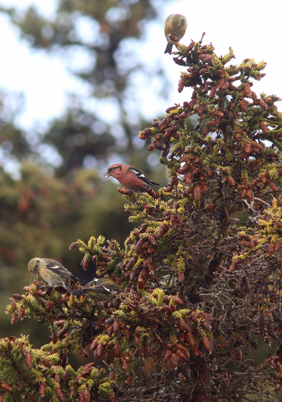 White-winged Crossbills have been arriving on the Avalon this month, and provided to be a crowd-pleaser for our participants.