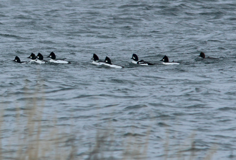 Another uncommon duck (though of North American origins) was this drake Barrow's Goldeneye spotted among a flock of Common Goldeneye in Spaniard's Bay (CBN).