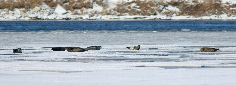 We also enjoyed several sightings of three species of seal, including this group of Harp Seals.