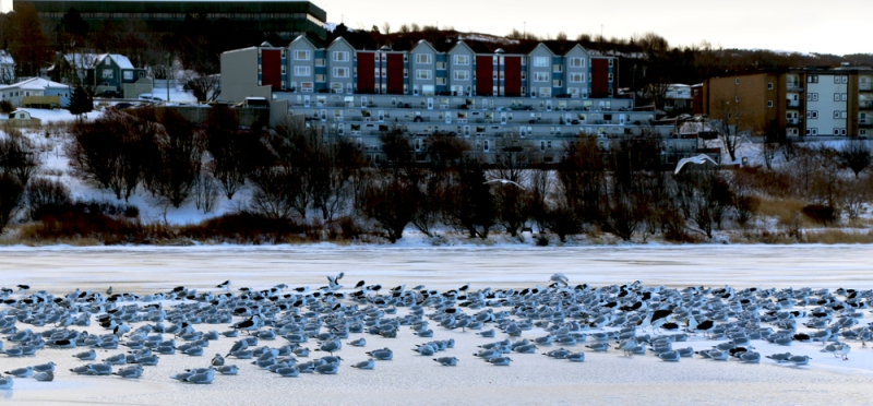 Gulls are an integral part of the tour, and we spent some time studying the various flocks around St. John's.