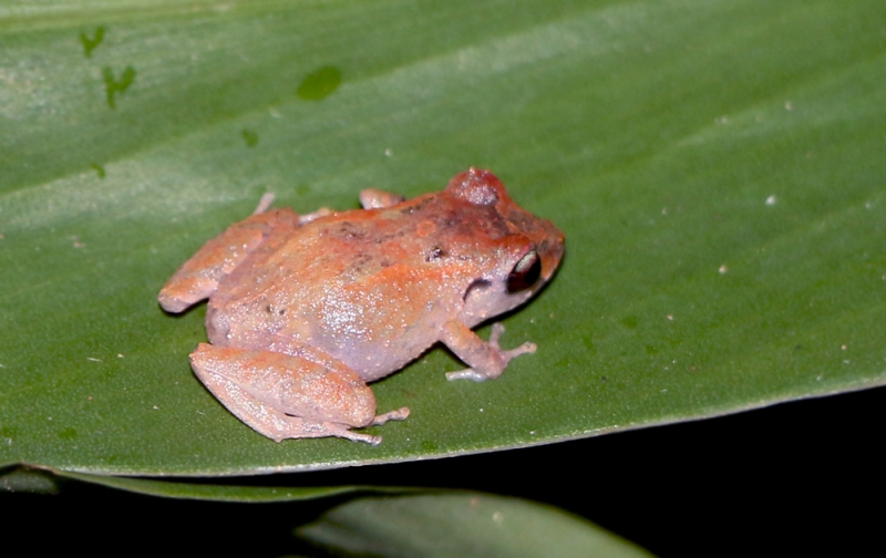 Even more fortunate was this sighting of another endemic species - Urich's Litter Frog. These tiny frogs are nocturnal, and we found one sitting on a leaf during a night stroll.