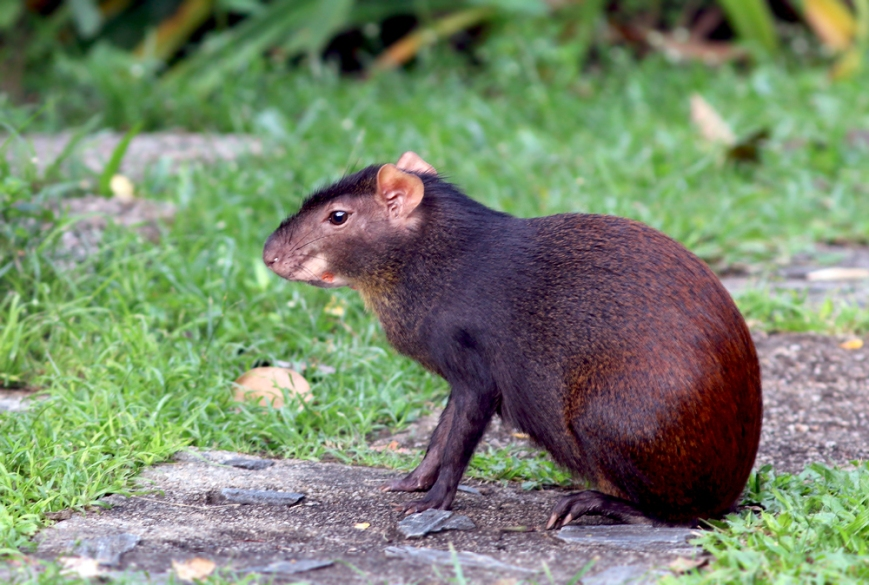 Many wild mammals in Trinidad are secretive and rarely seen, but the Red-rumped Agouti has adapted well to human settlement and enjoyed the fresh fruit being offered to birds at the nature centre.