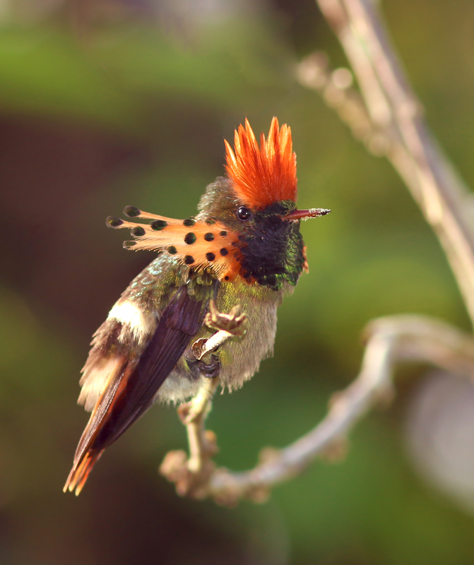 "A friend of mine described the male Tufted Coquette as the ""David Bowie of hummingbirds"", and here you can see why."