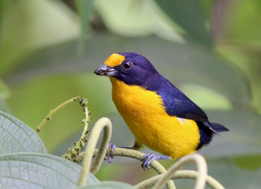 While some birds are well camouflaged for life in the forest, others are brilliant. Violaceous Euphonia is certainly among the most colourful!
