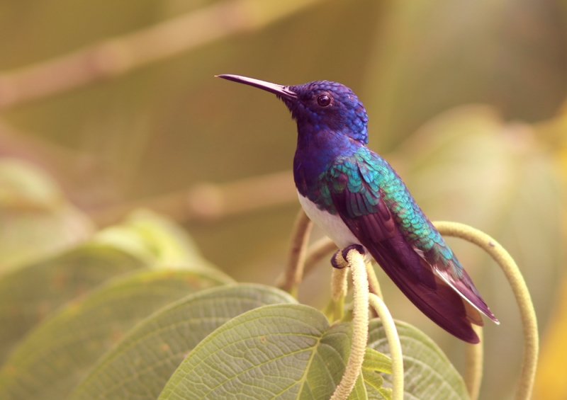Among my favourite hummingbirds were the White-necked Jacobins ... very classy!