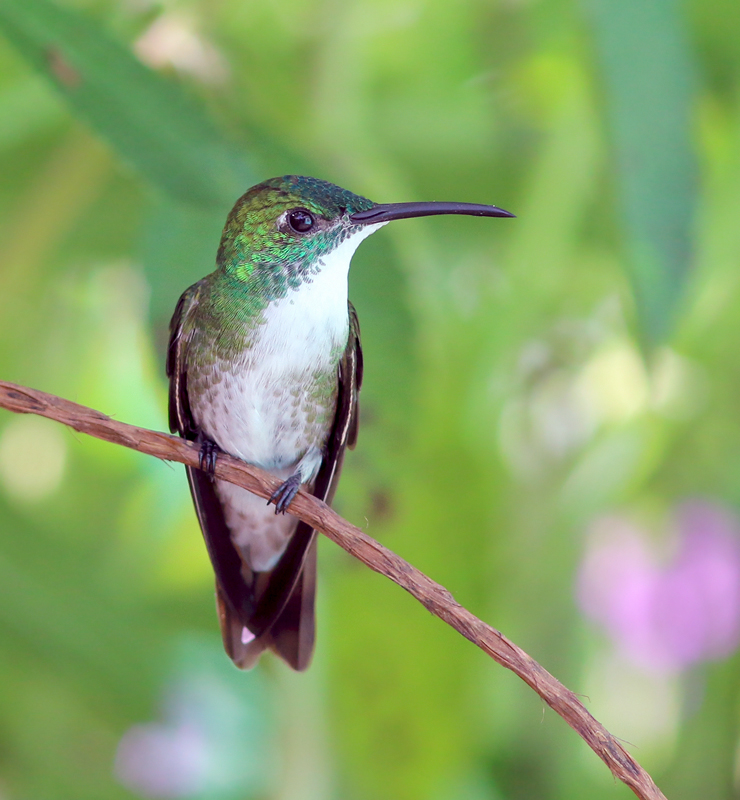 Of course, hummingbirds are huge part of any visit to the tropics, and there is no shortage here! White-chested Emeralds were among the most confiding at Asa Wright's very busy feeders.