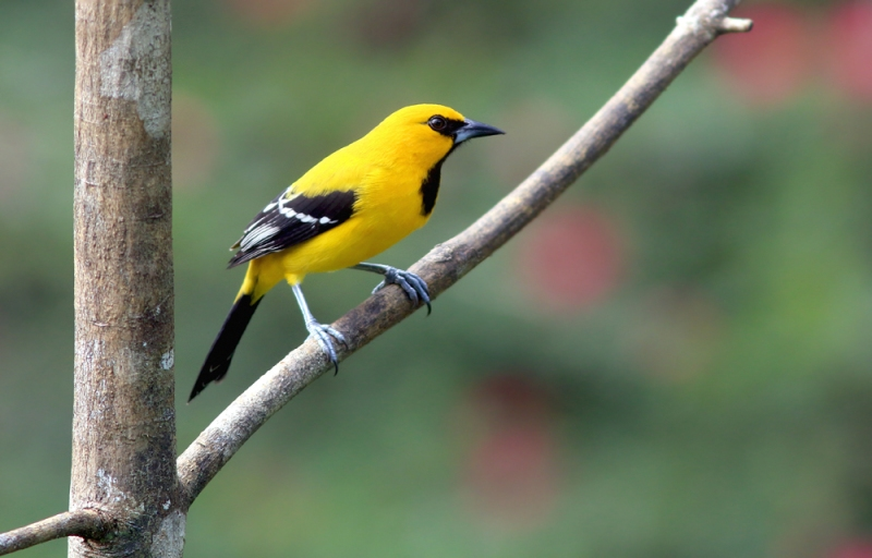 Another colourful visitor to the Asa Wright property is the Yellow Oriole ... what a great looking bird.