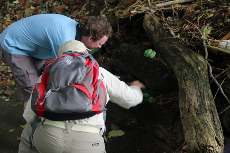 Co-leader Jody Allair and one of our participants check out an Audubon's Shearwater, cozy in it burrow. We were very fortunatr since they are just arriving back to their breeding sites at this time of year, and this was the first report of the season!