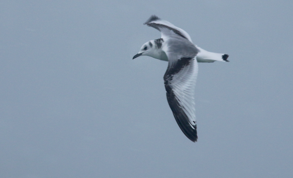 An immature Black-legged Kittiwake was also present, sometimes feeding alongside the Sabine's Gull. This made for a great comparison, since from a distance these two birds could prove an identification challenge. Note the different pattern on the upperside of the wings and mantle.