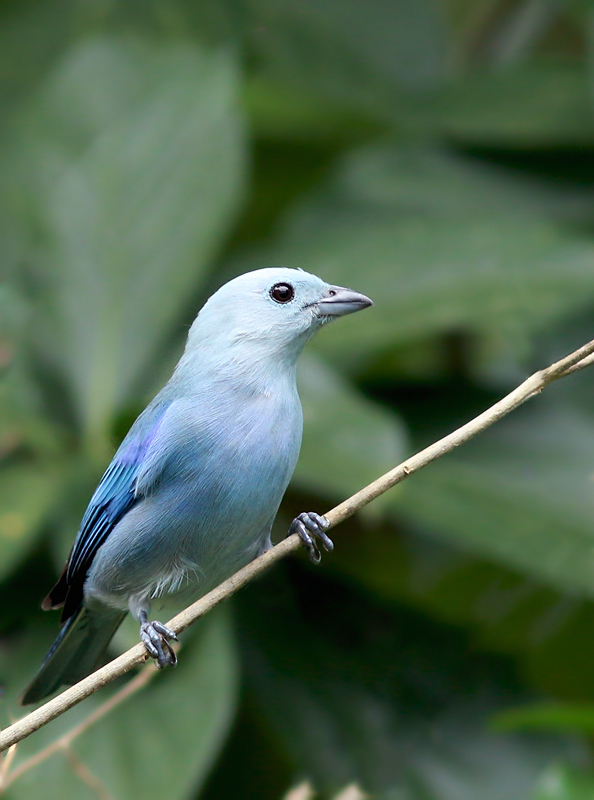 A Blue-gray Tanager also dropped in for a visit ... always a crowd pleaser.