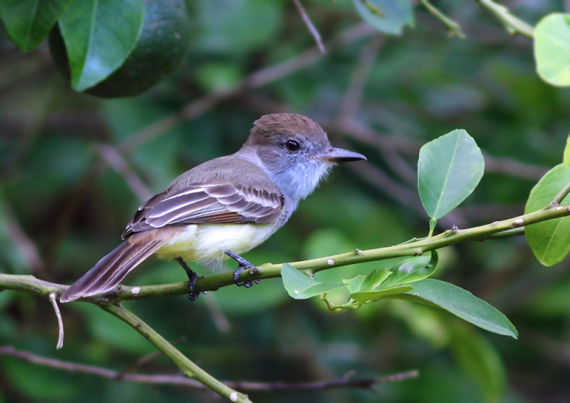 We also enjoyed some really great looks at a Brown-crested Flycatcher on the property. An absolutely fun bird to watch!