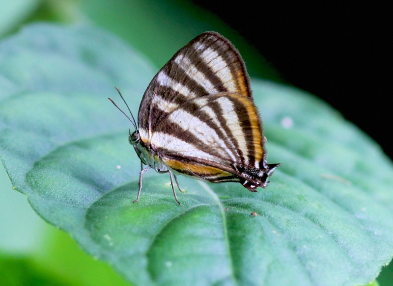 Another striking butterfly, the White Lycid (Arawacus aetolus) has very differeny patterning above (white) and below (beautifully and colourfully striped).