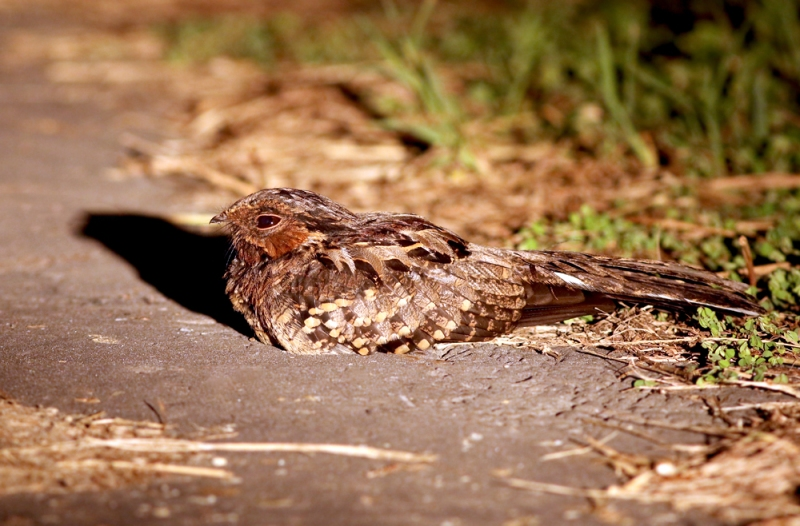 We also found a number of Common Pauraque (above), White-tailed Nightjars and one Common Potoo hunting and sitting on various perches.