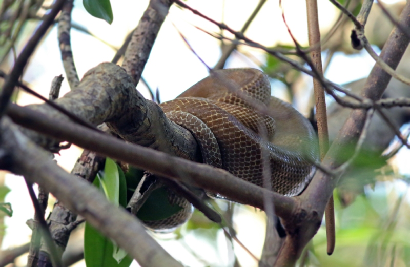 A late afternoon boat tour into Caroni Swamp proved to be both fun and birdy. Among highlights were our only Green-throated Mango, Straight-billed Woodcreeper, and Masked Cardinals. We also spotted this large Tree Boa (Corallus ruschenbergerii) taking a nap in the mangroves.