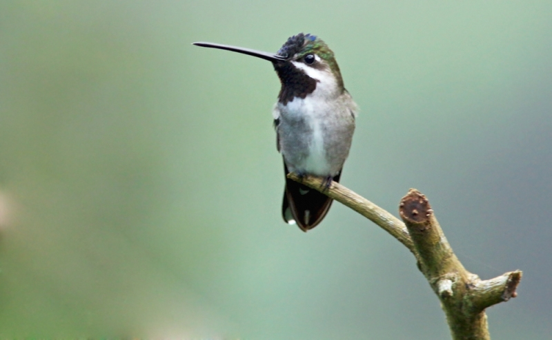 Long-billed Starthroat was one of the more uncommon hummingbirds on the island, although several could be found frequenting the feeders at Asa Wright Nature Centre.