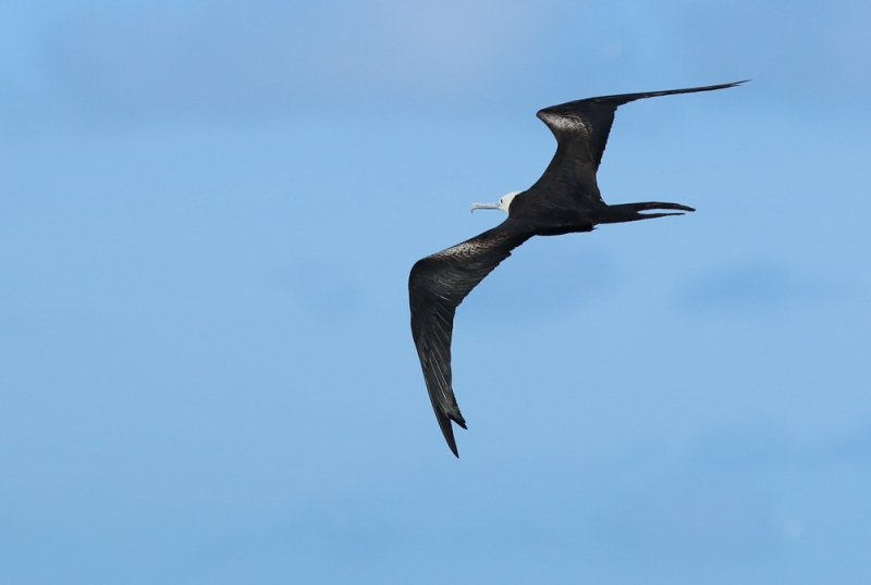 Nearby islands are also home to large colonies of Magnificent Frigatebird, and they could always be found patrolling around Little Tobago looking for a meal to steal!