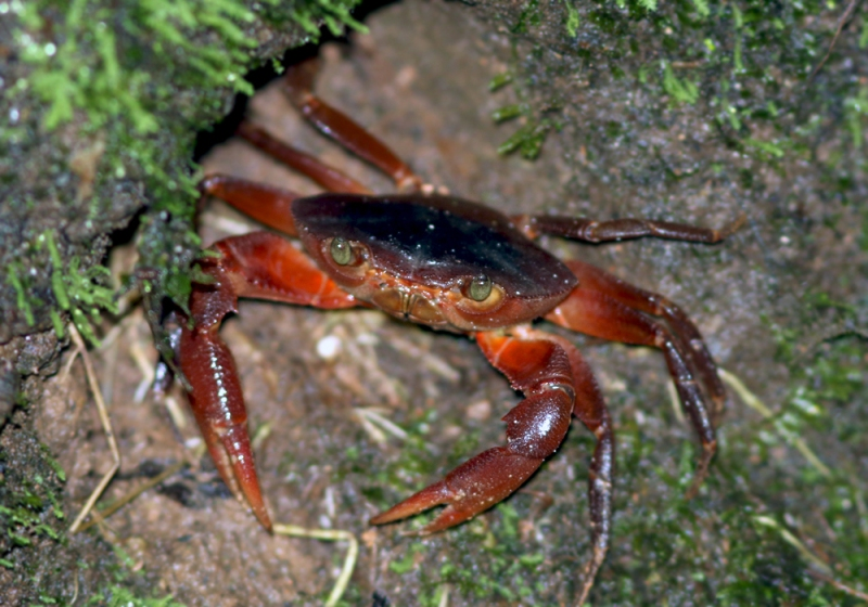 Going out after dark also produced some very interesting creatures, including the Trinidad Mountain Crab (Pseudotelphusa garmani). For a boy that grew up beside the ocean, there was just something strange about seeing crabs away from water and well up in the mountains!
