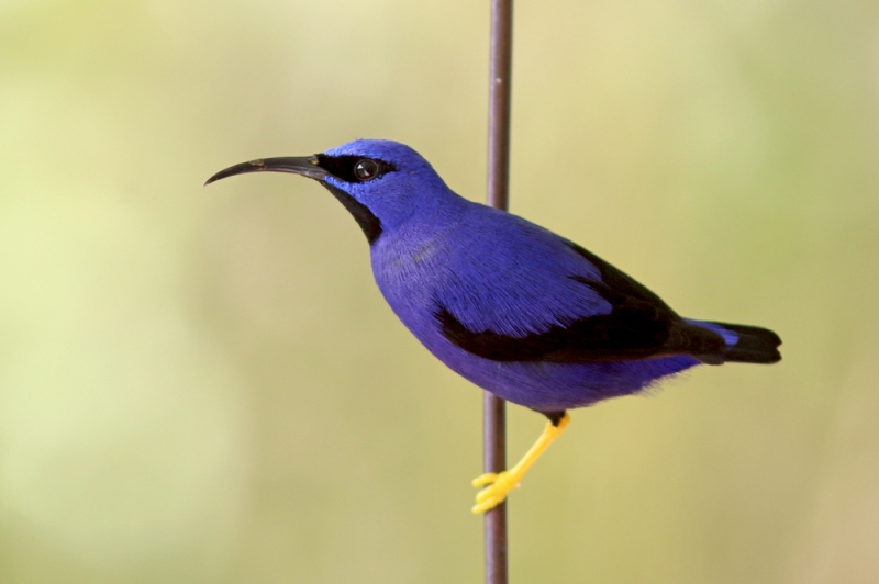 Despite being abundant throughout the property, and lots of other places we visited, it was impossible to overlook the beautiful Purple Honeycreeper. Centre staff said they were in larger than normal numbers this year.