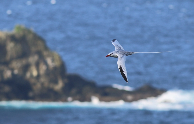 However, the obvious highlight (and our main reason for visiting Little Tobago) was the incredible seabird colony. While seeing hundreds of Red-billed Tropicbirds like this one was amazing, the colony also included both Red-footed and Brown Boobies.