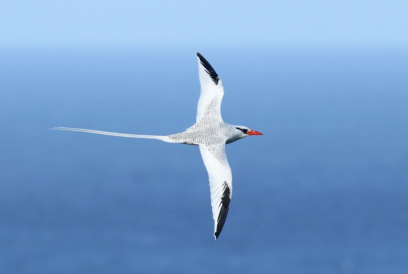 An iconic seabird, this Red-billed Tropicbird was one of many that we enjoyed during our visit to Tobago. Seeing hundreds of them was one of the major highlights for our entire group!