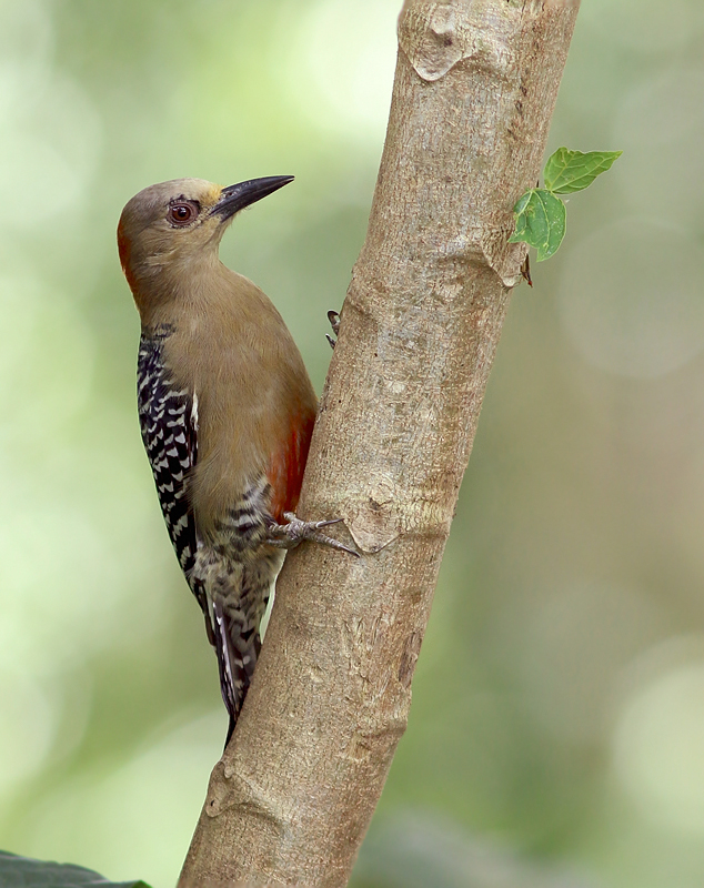 Red-crowned Woodpecker is fairly widespread on Tobago, but absent in larger Trinidad. We were fortunate to see several during our visit.