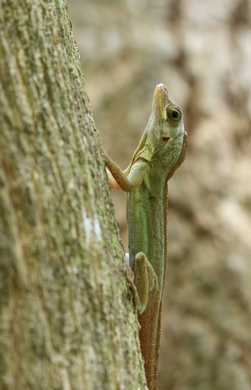 Richard's Anole were easy to spot around the property. Males like this one were fairly large.