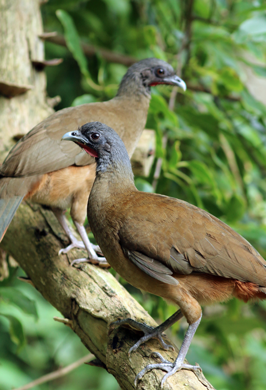 "Though a tad noisy at times, it was still fun to see Rufous-vented Chachalacas roaming around the area. Plus, it's just plain fun to say ""chachalaca""!"
