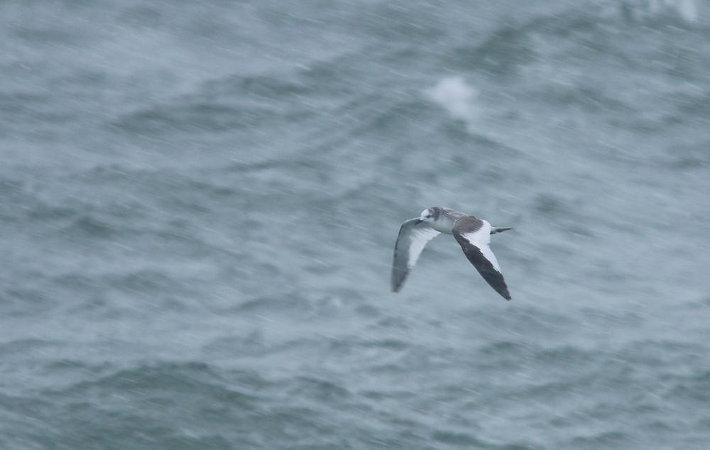 This 1w Sabine's Gull emerged out of a snow squall ... not exactly the way I expected to see my first of this species  in Newfoundland! Sabine's Gulls are almost unheard of in North America during winter - so how this one ended up off our coast in late January is a bit of a mystery.