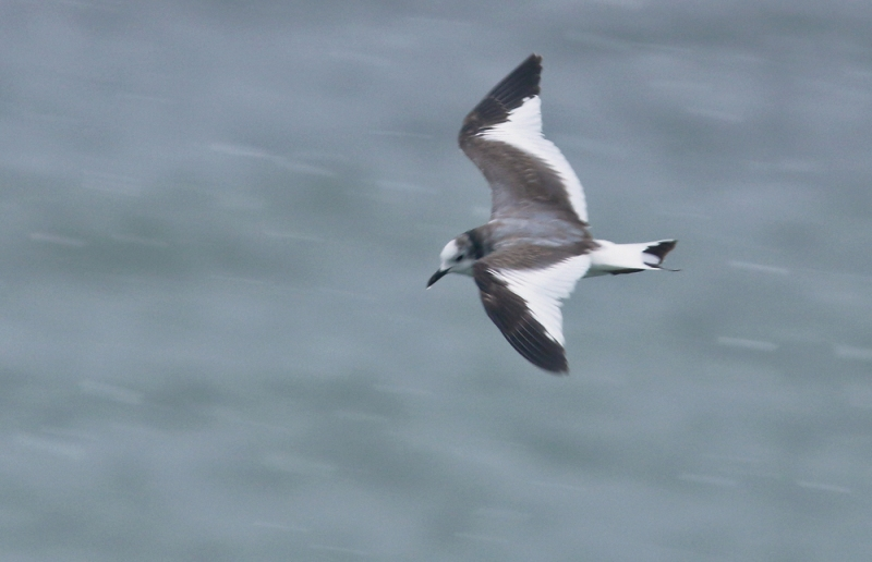 "The pied wing pattrn of an immature Sabine's Gull can superficially resemble the more distinct ""M"" visible on the immature Kittiwake above."