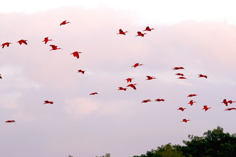 The climax of this boat trip, and a major highlight of the entire tour, was seeing hundreds of Scarlet Ibis (and many other herons/egrets) flying into roost on a single island before dusk. What an amazing, colourful spectacle!