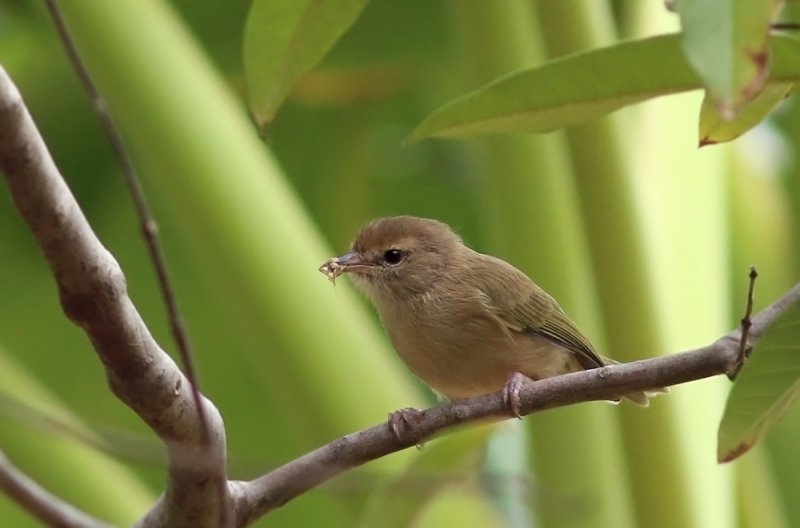 Yet another species found on Tobago, but not Trinidad, is the rather plain-looking Scrub Greenlet. It is part of the vireo family.