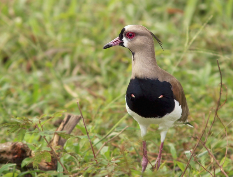 A daytime visit to the same area produced a good variety of grassland and wetland species, including the very classy-looking Southern Lapwing.