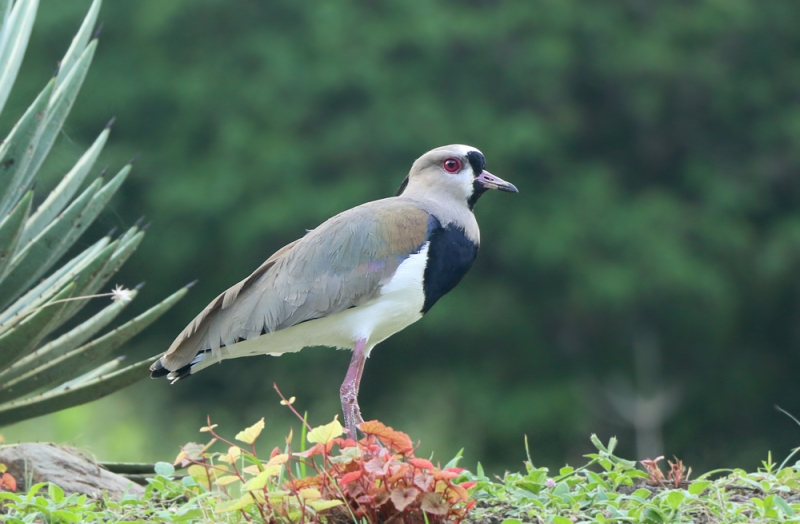 A number of Southern Lapwings were also present, taking advantage of the abundant short grass they like so much.