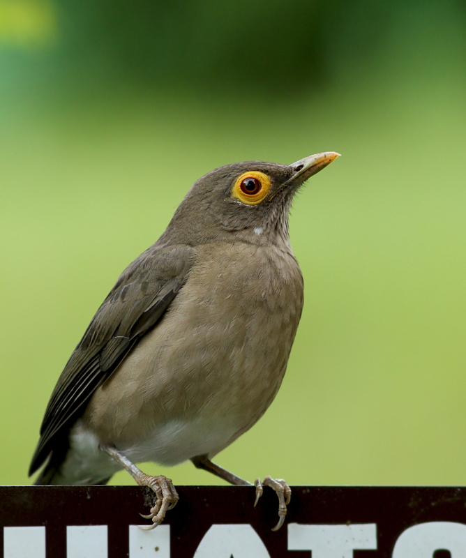 "Though less colourful overall, I always enjoyed seeing a Spectacled Thrush and its permanently ""surprised"" look!"