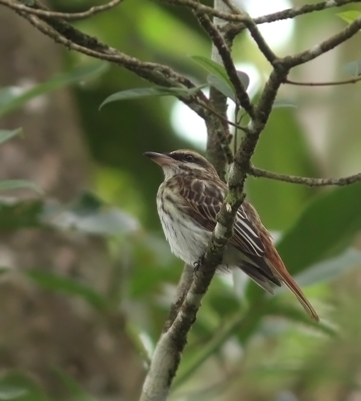 We found this well-camouflaged Streaked Flycatcher while birding along the Blanchisseuse road. Amazingly, everyone got great looks!