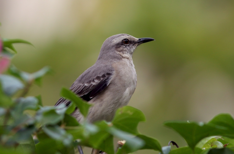 Our motel property offered plenty of great birding. This Tropical Mockingbird was sitting across from our room door almost every time I went outside.