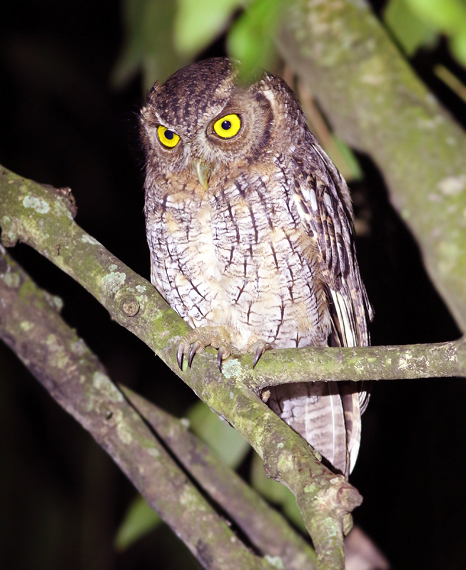 While all of our excursions were exciting, there is always something special about night birding. We visited an agricultural centre one evening to look for nocturnal species and were not disappointed. The first birds we found were a pair of Tropical Screech Owls - one of which sat obligingly for a few minutes before heading off to hunt. We also spotted a Barn Owl nearby.