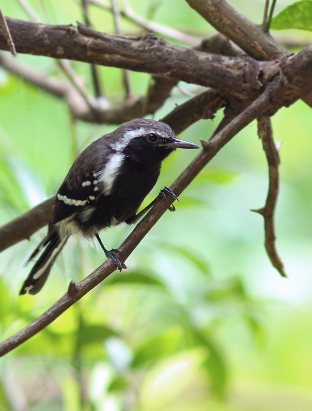 More secretive, though a little more flashy when seen, were several White-flanked Antwrens that we encountered during our walks. This one was unusually cooperative, though still difficult to see in the open for more than a few seconds.
