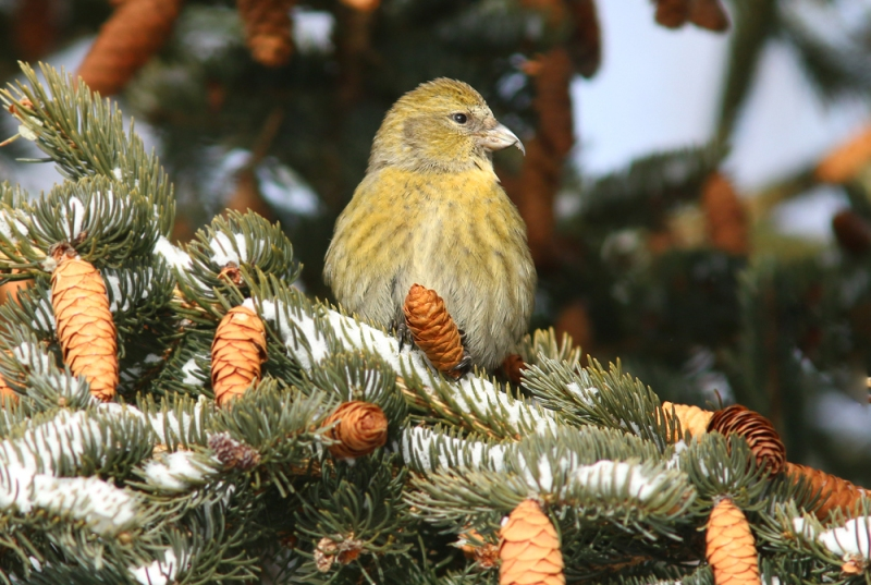 There is also a great crop of White Spruce cones ... a favourite food for White-winged Crossbills.
