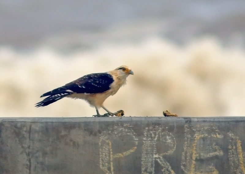 Another beautiful raptor of the lowlands, and much more common, is the Yellow-headed Caracara. We spotted this one having lunch on an ocean breakwater.