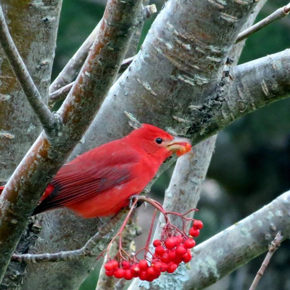 Beverley Hinks shared this photo of a beautiful male Summer Tanager that frequented her yard in late November and early December ... what a stunning winter bird!
